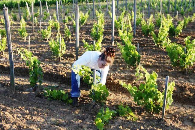 Девушка ухаживает за молодым виноградником