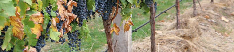Ухоженный куст винограда с мульчированными корнями