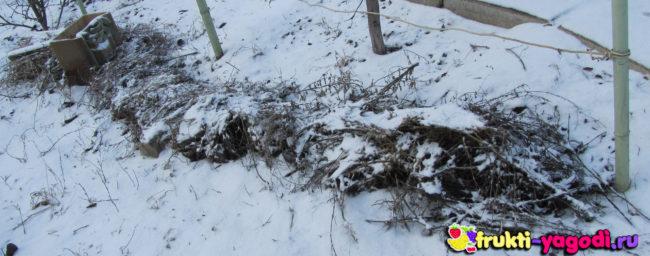 Укрытие на зиму винограда сухой травой и снег на ней