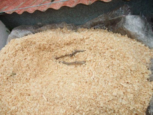 Саженец винограда в деревянном коробе под опилками, подготовка к зимнему сезону