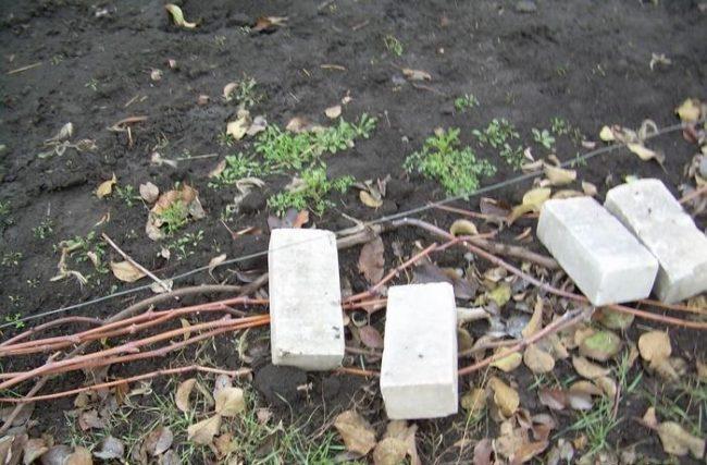 Ветки винограда, уложенные на землю и прижатые кирпичами, подготовка лозы к зимнему укрытию