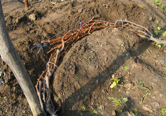 Виноградная лоза, свернутая пучком в траншее, подготовка к зимнему укрытию