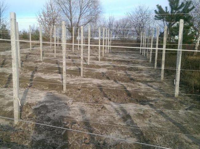 Виноградник перед наступлением зимы – лоза снята со шпалер, уложена на землю и засыпана грунтом