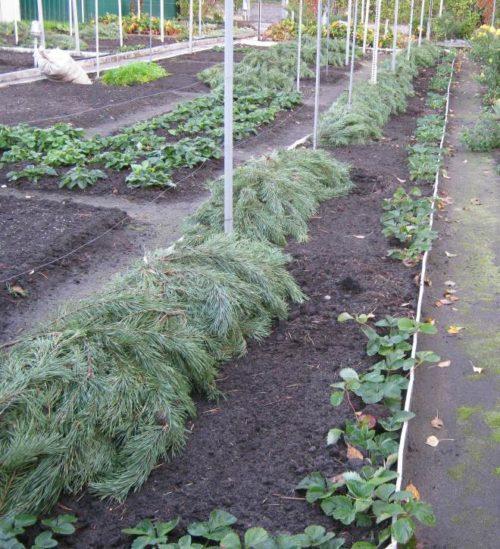 Еловый лапник на виноградных ветках, уложенных на землю для зимнего укрытия