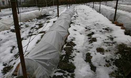 Укрытие винограда на зиму под полиэтиленовую пленку, натянутую на дугах из толстой проволоки
