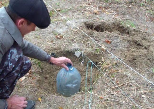 Пластиковая бутылка с обрезанным дном в роли зимнего укрытия саженца винограда