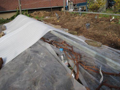Виноградная лоза перед зимнем укрытием под белый нетканый материал