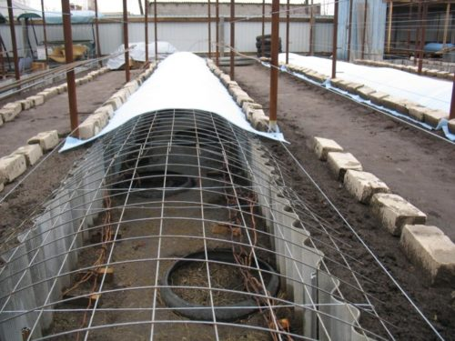 Подготовленные для укрытия на зиму ветви винограда и заглубленный короб из шифера с крышей из сетки