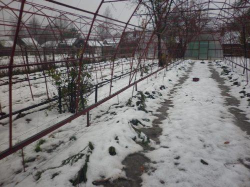 Воздухопроницаемое укрытие виноградной лозы на зиму под еловый лапник