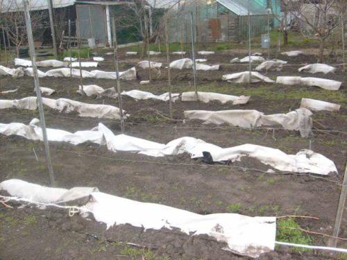 Осеннее укрытие виноградной лозы на зиму под нетканый материал