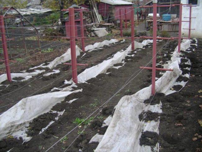 Укрытие виноградной лозы под пленку в средней полосе России и металлические стойки двухполосной шпалеры