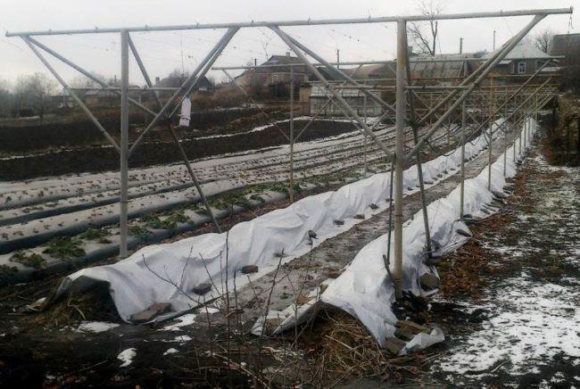 Виноградник глубокой осенью: лоза уложена на землю и укрыта нетканым белым материалом