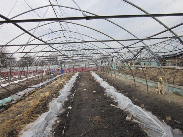 Укрытие виноградной лозы на зиму под пленку и арочная шпалера