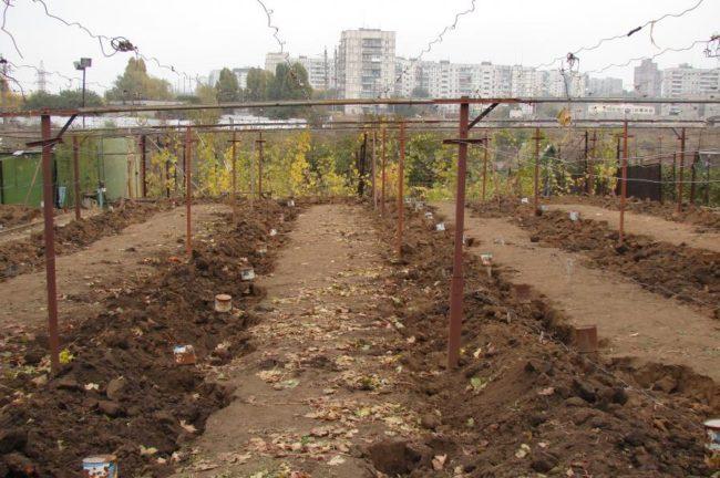 Виноградник перед зимовкой, высокие гряды насыпного грунта скрыли лозу от морозов