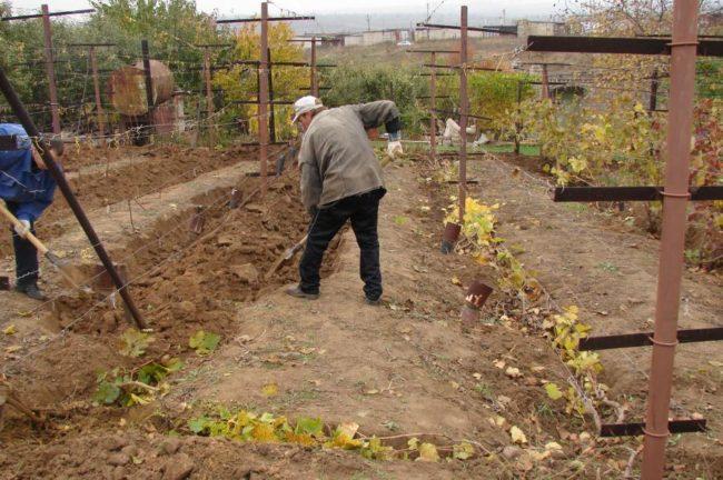 Укрытие виноградной лозы на зиму, закапывание пригнутых веток землей