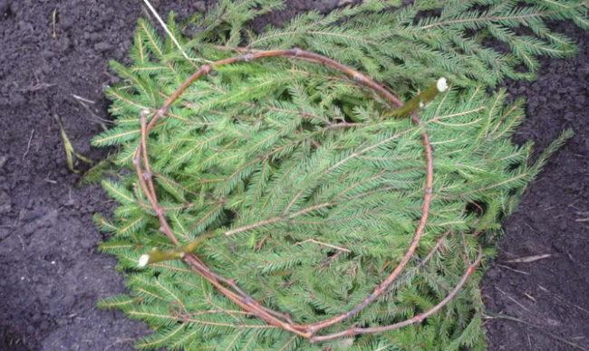 Свернутая кольцом виноградная лоза на подстилке из елового лапника