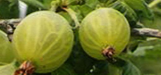 Плоды вблизи сорт Уральский бесшипный крыжовник