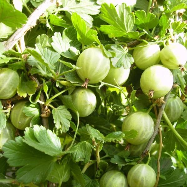 Спелые плоды зеленого цвета и десертного вкуса на ветках крыжовника сорта Уральский бесшипный