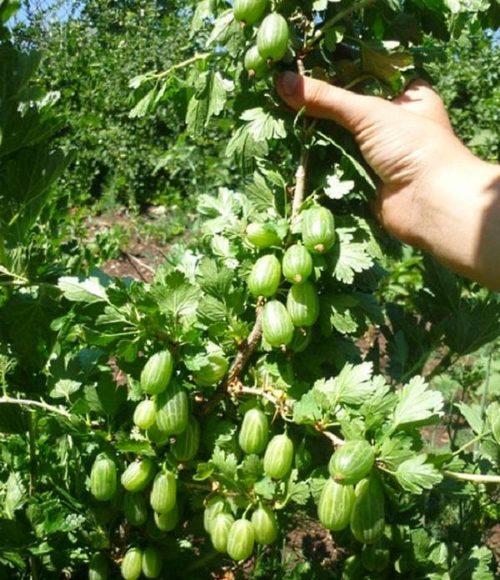 Вертикально растущая ветка крыжовника Уральский бесшипный с плодами овальной формы изумрудного цвета