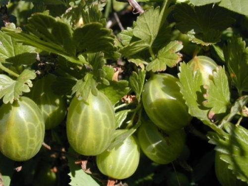 Спелые ягоды крыжовника сорта Уральский бесшипный и листья темно-зеленого цвета