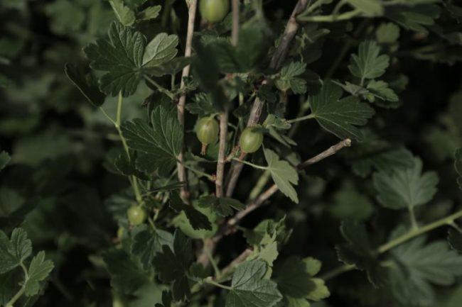 Стебли без шипов крыжовника Уральский бесшипный, сорт от селекционера Ильина