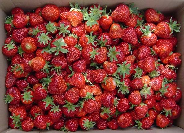 Ягода клубники Хоней в картонном ящике, массовый сбор урожая в конце мая