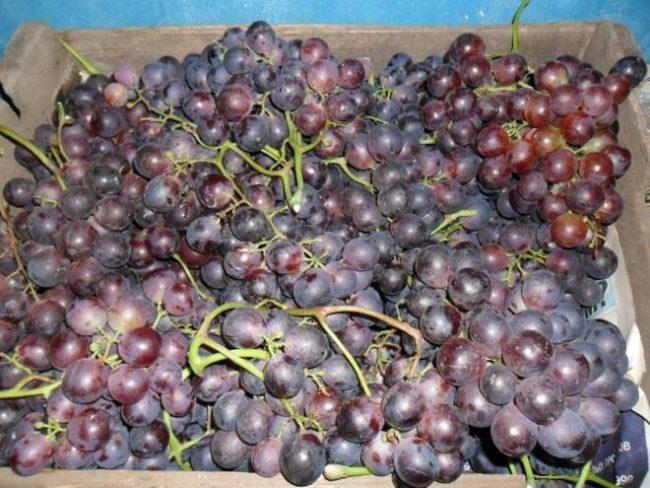 Деревянный ящик с гроздьями спелого винограда, собранного в конце августа