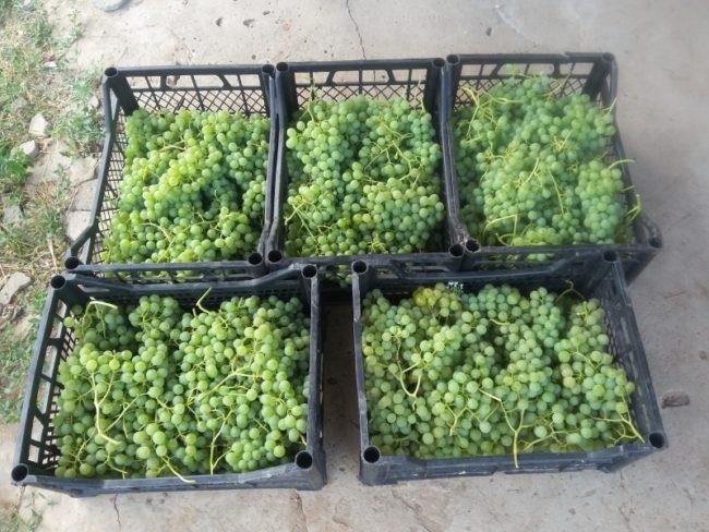 Пять пластиковых ящиков с гроздьями винограда, собранного для переработки на винные напитки