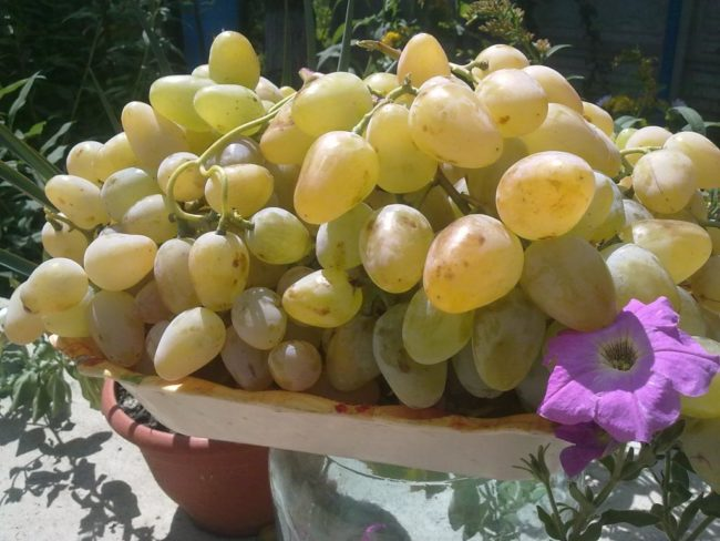 Грозди винограда Монарх во время массового сбора урожая, однородные ягоды янтарно-желтого цвета