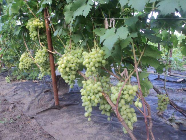 Кисти винограда сорта Галахад висят на кусте
