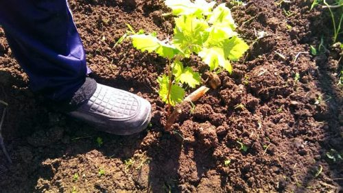Уплотнение грунта ногой в посадочной яме вокруг саженца винограда