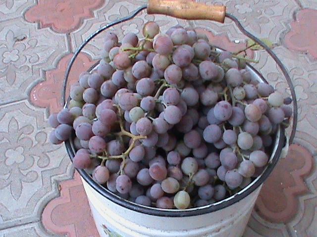 Эмалированное ведро с гроздьями винограда Черный Восторг, сбор урожая в конце лета