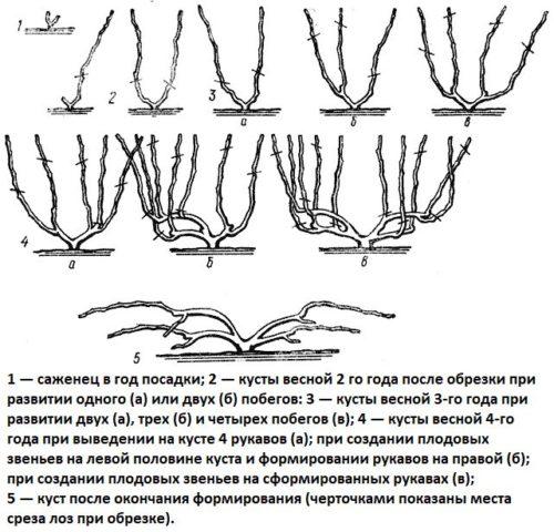 Схема веерной формировки виноградной лозы без штамба для укрывных регионов