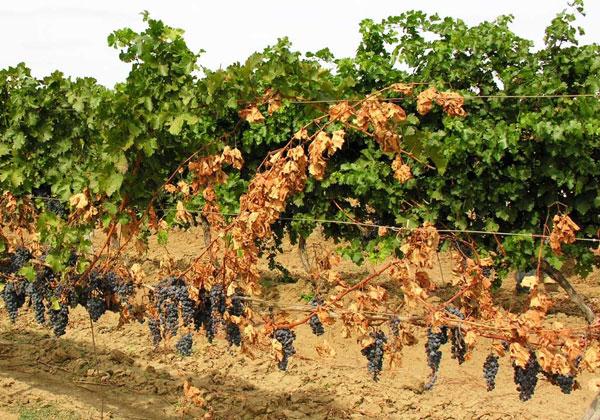 Виноградная лоза на шпалере с признаками вертициллезного увядания