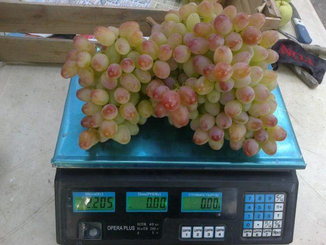 Крупная гроздь винограда сорта Гелиос массой более двух килограмм на весах