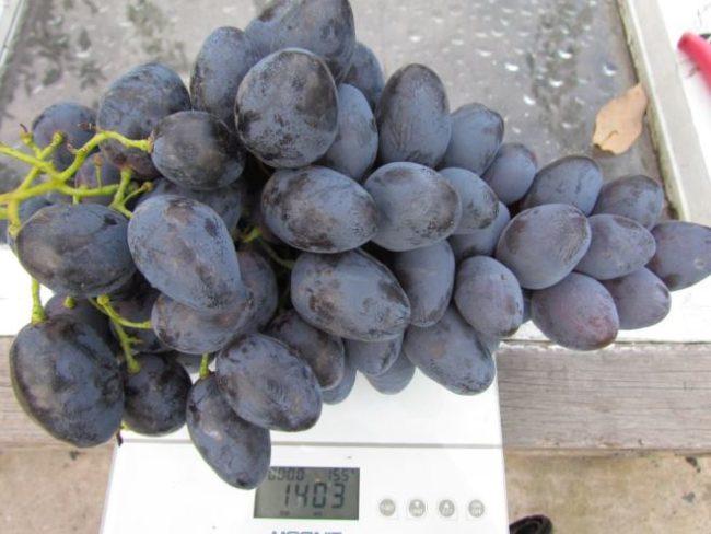 Крупная гроздь винограда гибридной формы Фурор на электронных весах