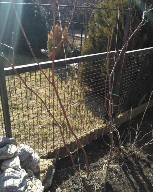 Виноградная лоза ранней весной, санитарная обрезка старых и сухих веток