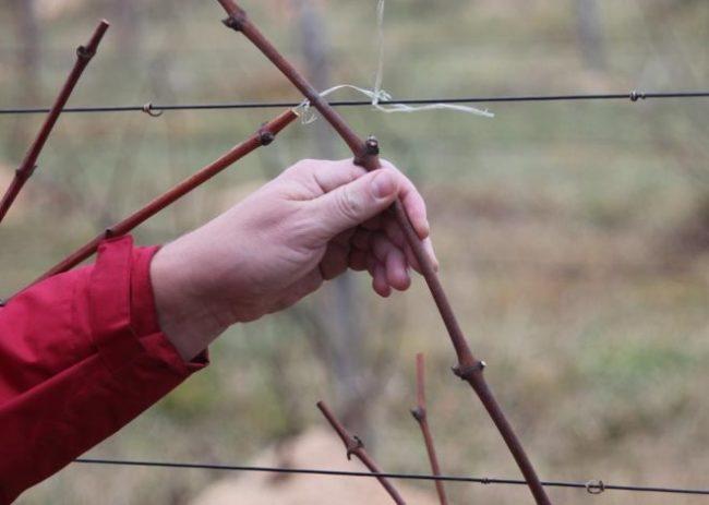 Ветка винограда толщиной около десяти миллиметров, подходящая лоза для заготовки черенков
