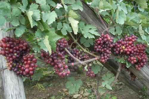 Ветки винограда столового сорта Подарок Несветая и созревающие грозди
