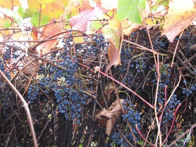 Дикая виноградная лоза с гроздьями темно-синих ягод и осенние листья