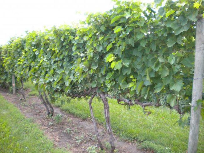 Лоза сорта Супер Экстра на шпалере из проволоки в винограднике Краснодарского края