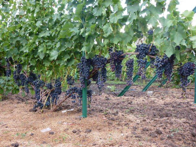Виноградные кусты сорта Аттика на шпалерах и крупные кисти с плодами темного-синего цвета