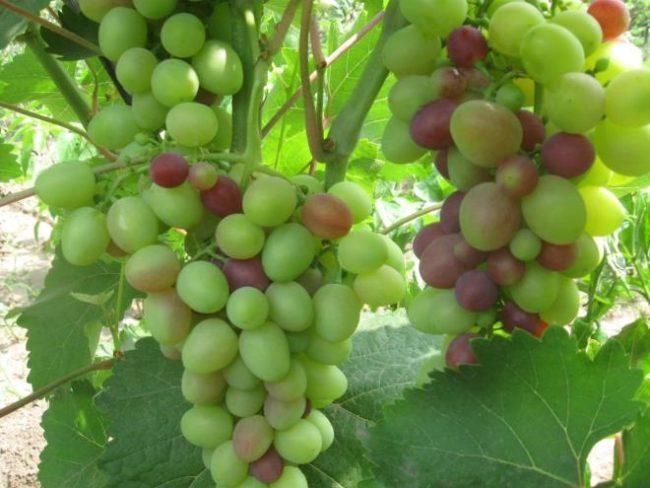 Кисти винограда Гелиос в начальной стадии созревания ягод, плоды зеленого и розового цветов