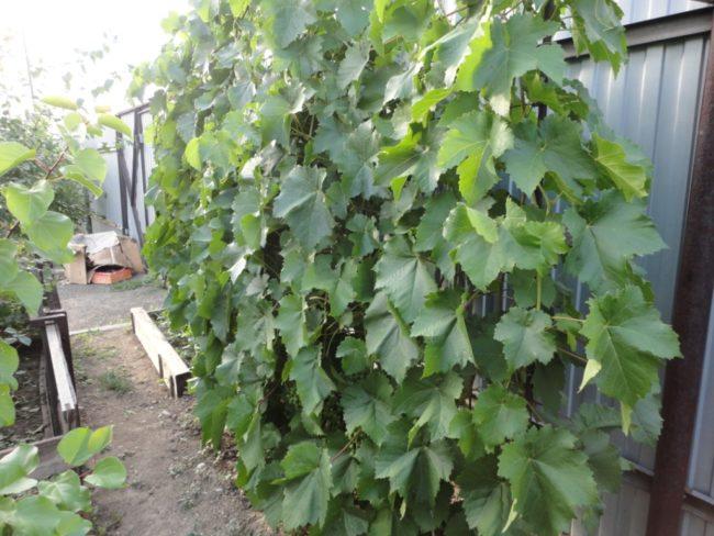 Виноград на шпалере вдоль высокого забора из профилированного листа