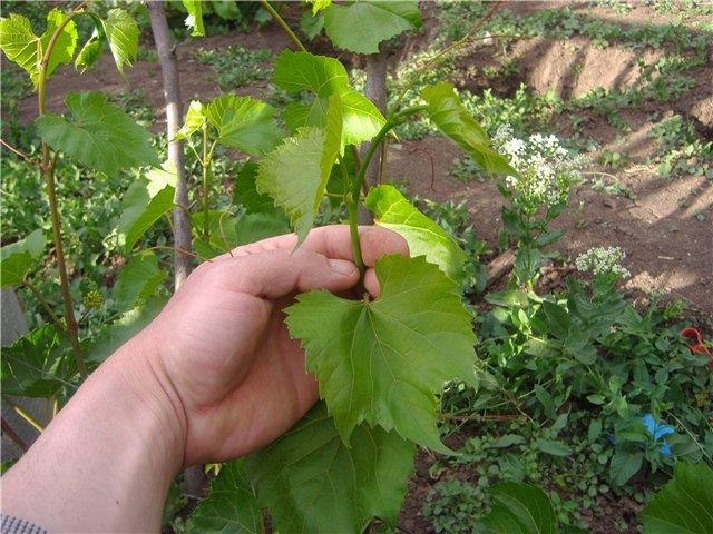 Молодой побег винограда, растущий из весенней прививки и рука садовода