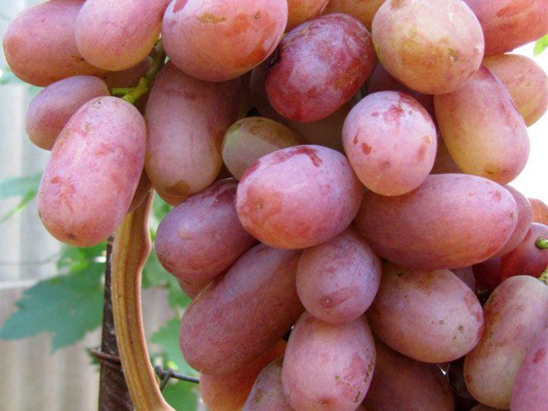 принимаются меры сорт винограда юлиан фото и описание нравится новый