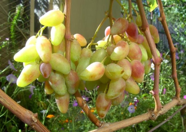 Небольшие кисточки винограда с зеленоватыми ягодами в форме вытянутого конуса