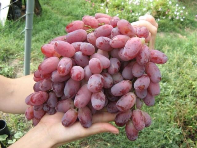 Громадная кисть винограда с ягодами розово-красного цвета в руках садовода
