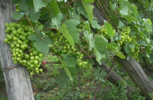 Виноградная лоза сорта Подарок Несветая с гроздьями пока ещё зеленых ягод