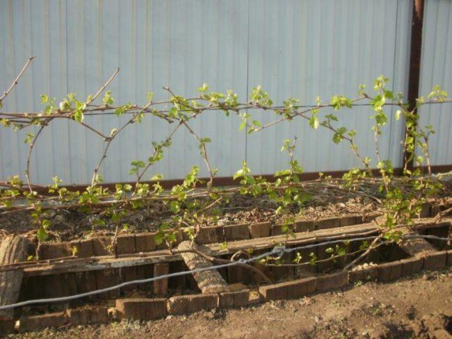 Заглубленный короб для выращивания винограда в холодных регионах и забор из профлиста позади